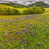Lupine_Field_Along_Old_San_Juan_Grade