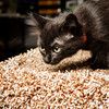 SPCA kitten at Bosley's November 2012 #6