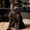 SPCA kitten at Bosley's November 2012 #1