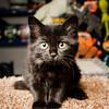 SPCA kitten at Bosley's November 2012 #2