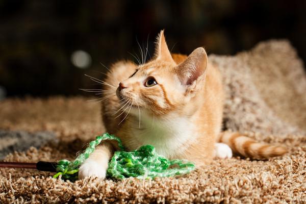 SPCA kitten at Bosley's November 2012 #5