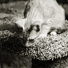 SPCA kitten at Bosley's November 2012 B&W