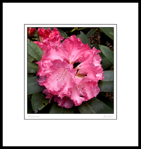 Rhododendron 2011-015-0030