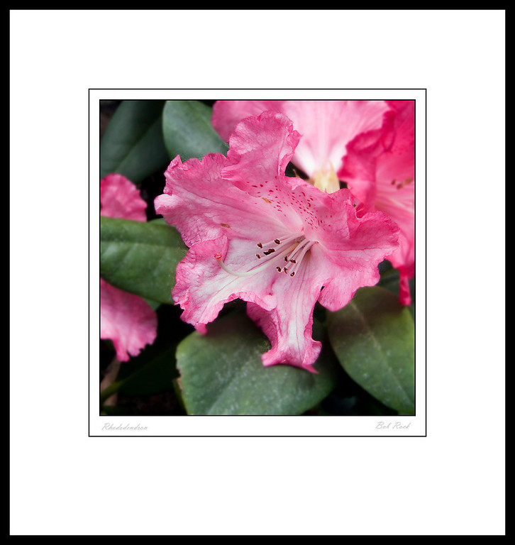 Rhododendron 2011-015-0038