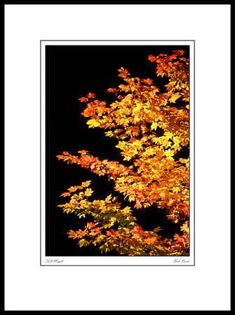 3504 Fall Maple