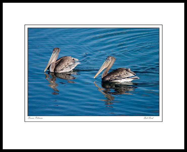 Pelicans in the Quillayute River mouth near La Push in Washington's Olympic National Park.