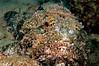 Spotted Scorpionfish <i>(Scorpaena plumieri)<i/>