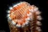 Bearded Fireworm <i>( Hermodice carunculata)<i/>