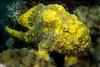 Longlure Frogfish <i>(Antennarius multiocellatus)<i>