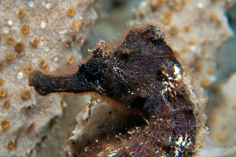 Longsnout Seahorse <i>(Hippocampus reidi)(i/>