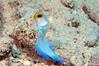 Yellowhead Jawfish <i>(Opistognathus aurifrons)<i/>