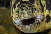 Chain Moray <i>(Enchida catenata)<i/>