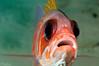 Squirrelfish <i>(Holocentrus ascensionis)<i/>