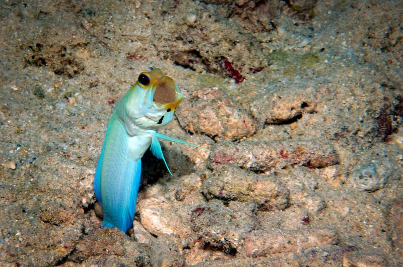 Yellowhead Jawfish <i>(Opistognathus aurifrons)<i/>brooding eggs