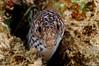 Spotted Moray -with toothache?  <i>(Gymnothorax moringa)<i/>
