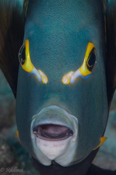 French Angelfish <i>(Pomacanthus parti)<i/>