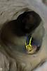Yellow Prow Goby <i>(Elacatinus xanthiprora)<i/> in a Tube Sponge