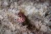 Saddled Blenny <i> (Malacoctenus triangulatus) <i/>