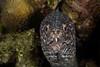 Spotted Moray  <i>(Gymnothorax moringa)<i/>