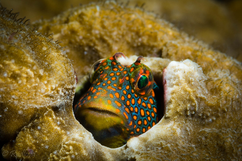 Tesselated Blenny <i>(Hypsoblennius invemar)<i/>