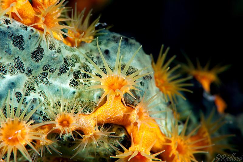 Golden Zoanthid <i>(Parazoanthus swiftii)<i/>