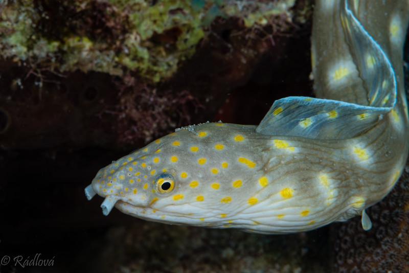Sharptail Eel <i>(Myrichthys breviceps)<i/>