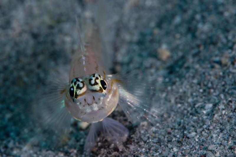 Pallid Goby <i>(Coryphopterus edolon)<i/>