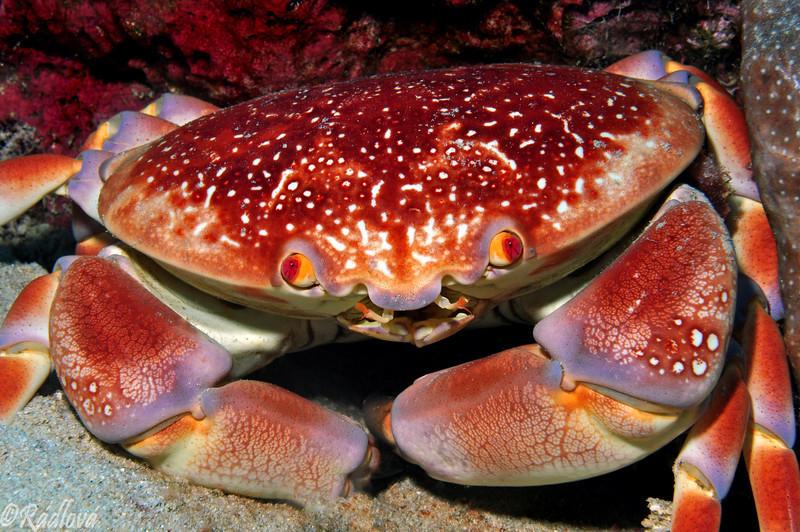 Batwing Coral Crab <i>(Carpilius corallinus)<i/>