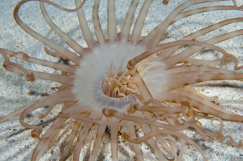 Tube anemone <I>(Pachycerianthus fimbriatus)<I/>