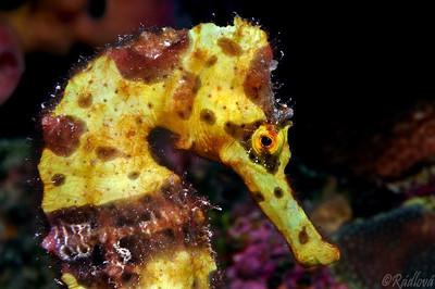 Yellow Longsnout Seahorse (Hippocampus reidi)