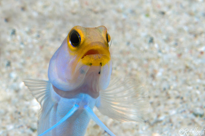 Yellowhead Jawfish <i>(Opistognathus aurifrons)<i/>