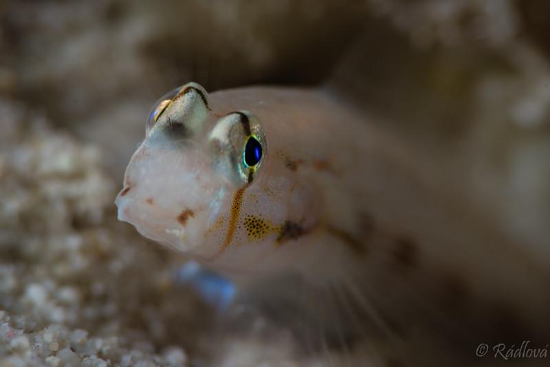 Goldspot Goby <i>(Gnatholepis thompsoni)<i/>
