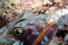 Sharknose Goby <i>(Gobiosoma evelynae)<i/> on a Sand diver