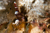 Squat Anemone Shrimp <i>(Thor amboinensis)<i/>