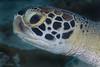 Green Turtle <i>(Chelonia mydas)<i/>