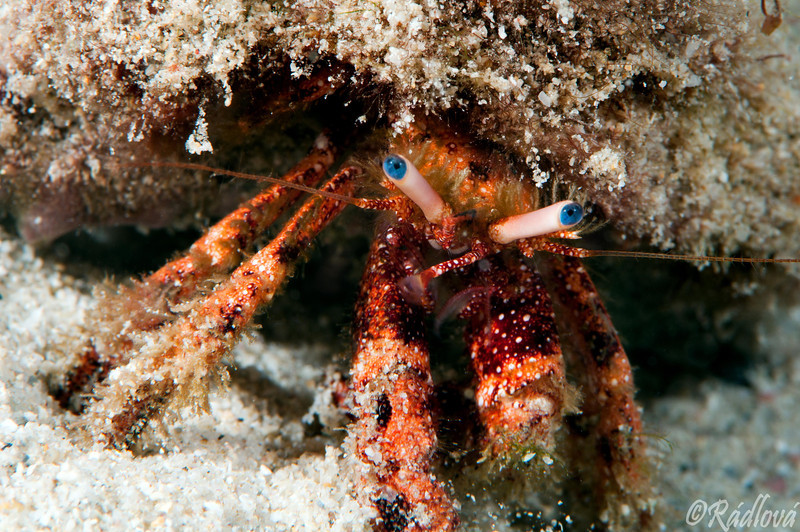 White Speckled Hermit Crab <i>(Paguristes punticeps)<i/>