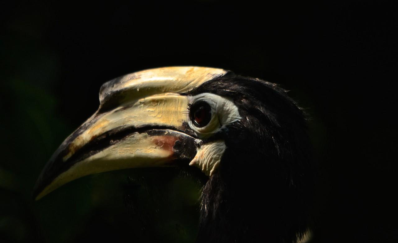 Oriental Pied Hornbill (Anthracoceros albirostris) side view