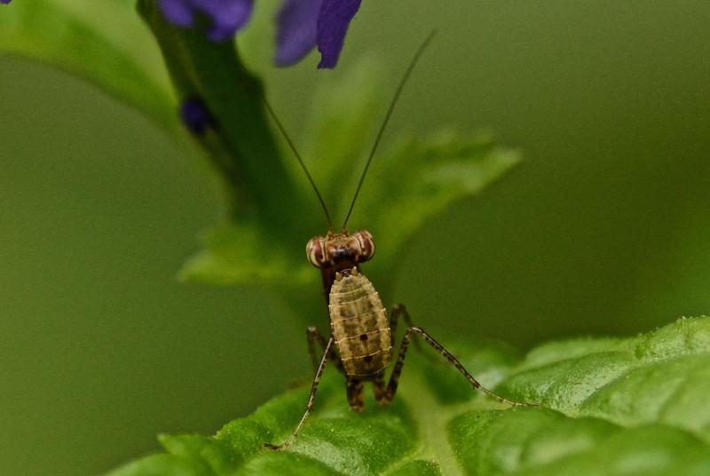 Miniature Praying Mantis, exact species to follow