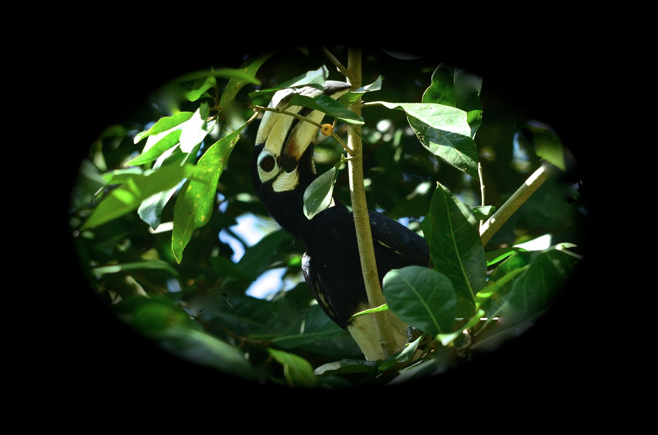 Oriental Pied Hornbill (Anthracoceros albirostris) searching for berries