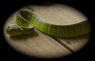 Adult Emerald Pit Viper (Tropidolaemus subannulatus)