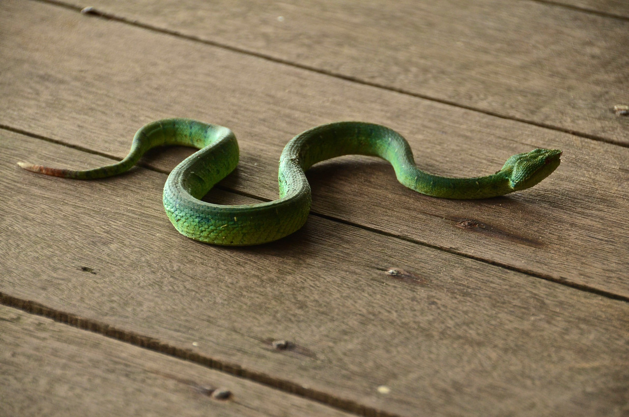 Young Emerald Pit Viper (Tropidolaemus subannulatus) on the step by my treehouse