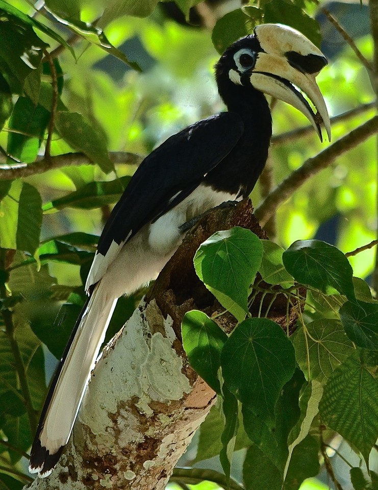 Oriental Pied Hornbill (Anthracoceros albirostris) with his berry, these birds are quite prehistoric looking