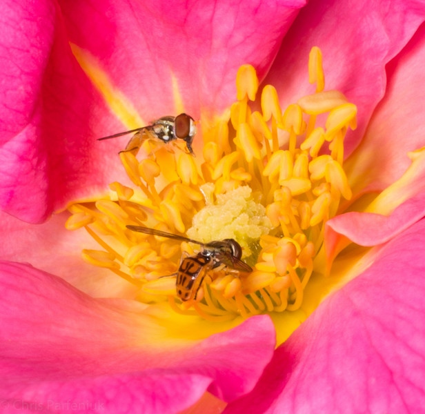 Small bees on a rose
