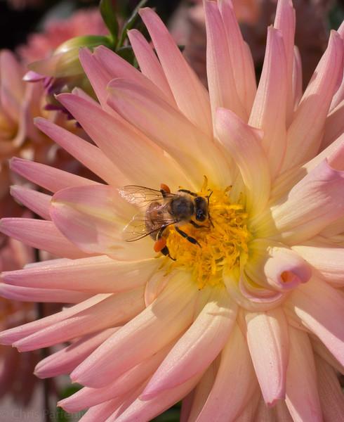 Dahlia Bee II
