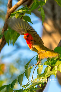Red-headed Weaver 2