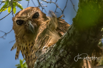 Pel's Fishing Owl Up Close