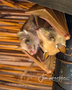 Peters Epauletted Fruit Bat