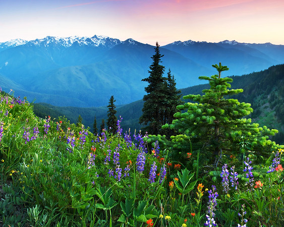 Wildflowers at Hurricane Ridge, Olympic National Park, Washington