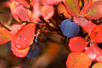 The changing leaves of a blueberry bush in Alaska, mid-August 2009.  Though this was one of the first bushes to turn, fall certainly comes early that far north.