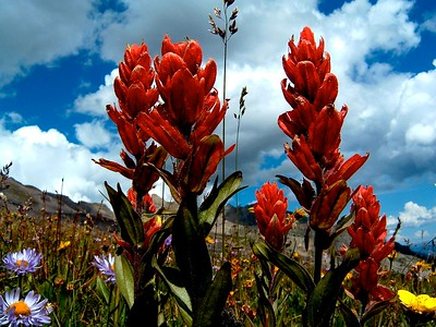 Indian Paintbrush in the basin above Conundrum Hot Springs, Colorado